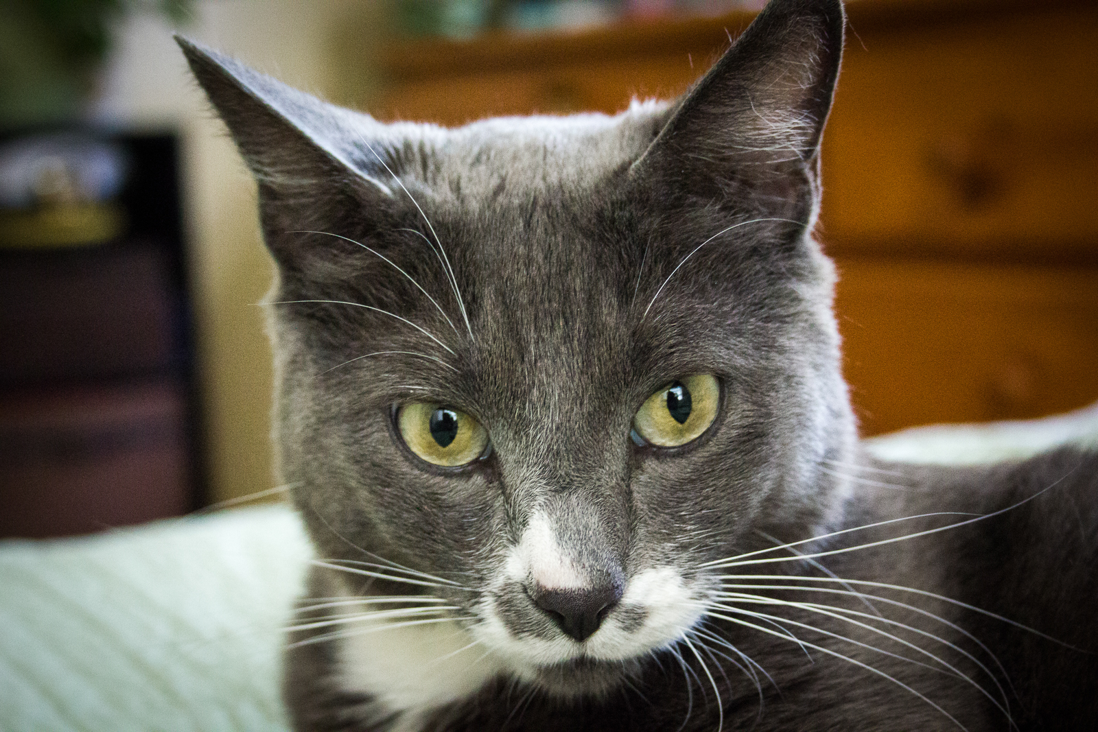 Sherman the Cat. Copyright 2013 Dave Bourgeau, All Rights Reserved